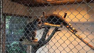 荒ぶるアライグマ (みさき公園) 2017年8月26日