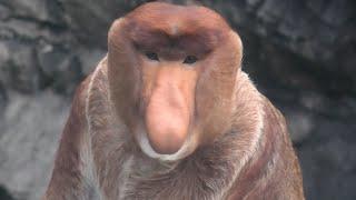 テングザル (よこはま動物園 ズーラシア) 2020年9月16日