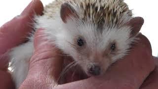 Four-toed hedgehog Fureai Experience (Izu Animal Kingdom, Shizuoka, Japan) March 17, 2018