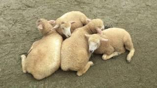 身を寄せ合う子羊たち (那須どうぶつ王国) 2017年7月23日