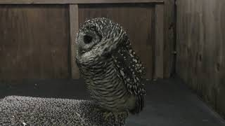 Rufous-legged owl (Fuji Kachoen Garden Park, Shizuoka, Japan) November 25, 2018