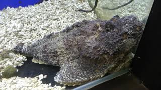 オニダルマオコゼ (北里アクアリウムラボ ~ 北里大学海洋生命科学部ミニ水族館) 2018年11月30日