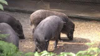 イノシシ園 (石川県森林公園 森林動物園) 2019年8月17日