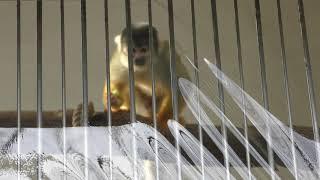 Squirrel Monkey (Wakayama Park Zoo, Wakayama, Japan) December 24, 2018
