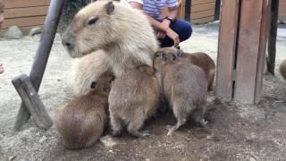 お母さんの乳を飲むカピバラの赤ちゃん (那須どうぶつ王国) 2017年7月23日