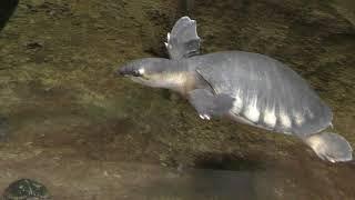 水棲のカメたち (日本平動物園) 2017年12月10日