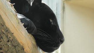 Black jaguar (Oji Zoo, Hyogo, Japan) October 15, 2020