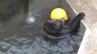 ボールで遊ぶエゾヒグマ (日立市かみね動物園) 2017年10月21日