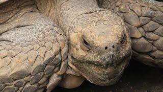 ケヅメリクガメ の『チヨ』 (東武動物公園) 2020年9月18日