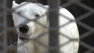 ホッキョクグマ の『ユキ』と『ホクト』 (姫路市立動物園) 2019年2月16日