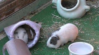 カイウサギ と モルモット (多摩動物公園) 2019年1月18日