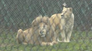 ホワイトライオン (那須サファリパーク) 2018年12月7日