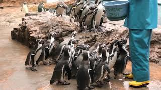 ペンギン館のお食事タイム (島根県立しまね海洋館 アクアス) 2019年12月2日