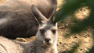 オオカンガルー と エミュー (千葉市動物公園) 2020年9月17日