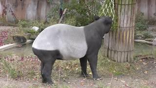 マレーバクのヒサくん (東山動植物園) 2017年11月19日