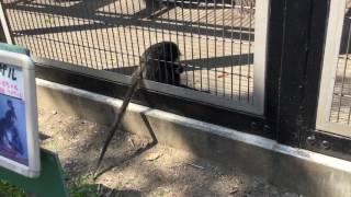 尻尾を器用に使うジョフロイクモザル (東武動物公園) 2017年5月20日