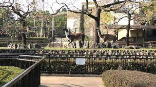 ラマ (宮崎市フェニックス自然動物園) 2019年12月9日