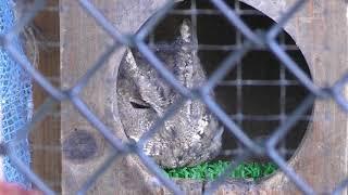 Sunda Scops-owl (Kiryugaoka Zoo, Gunma, Japan) October 9, 2017