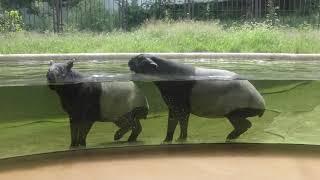 マレーバク舎 (多摩動物公園) 2018年9月9日