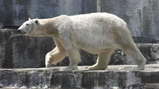 ホッキョクグマの『バリーバ』 (愛媛県立とべ動物園) 2018年3月25日