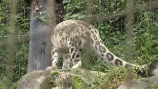 ユキヒョウ (多摩動物公園) 2017年9月23日