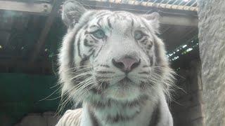 ホワイトタイガー の『シュガー』 (東武動物公園) 2020年9月18日