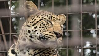 Leopard (TOBE ZOOLOGICAL PARK OF EHIME PREF., Ehime, Japan) December 25, 2019