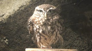 Little Owl (Izu Shaboten Zoo, Shizuoka, Japan) October 1, 2019