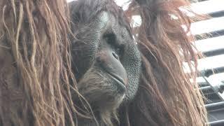 ボルネオ オランウータンのジュン (日本平動物園) 2017年12月10日