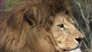 ライオン の『レオ』 (とくしま動物園) 2019年3月2日