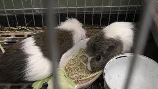 イングリッシュモルモット (ズケラン養鶏場 ミニミニ動物園) 2019年5月12日