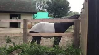 マレーバクの激しいおしっこ(東武動物公園) 2017年8月20日