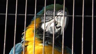 ルリコンゴウインコ の『リー』 (岡崎市東公園 動物園) 2019年1月23日