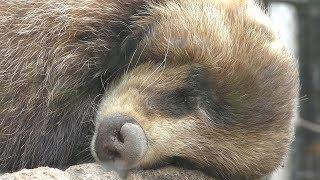 ニホンアナグマ の『ナナスケ』 (鹿児島市 平川動物公園) 2019年4月17日