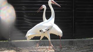 2羽の ソデグロヅル (天王寺動物園) 2021年3月23日
