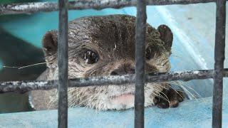 コツメカワウソ の『まっちゃ』と『ふう』 (東武動物公園) 2020年9月18日