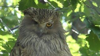 Blakiston's fish owl (Asahiyama Zoo, Hokkaido, Japan) June 20, 2019