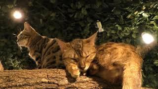 ベンガルキャット (嚴島ヒョウ猫の森) 2018年5月20日