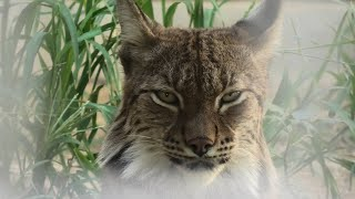 ヨーロッパオオヤマネコ の『ロキ』 (京都市動物園) 2020年9月1日
