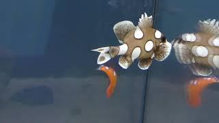 ツユベラ の幼魚 と チョウチョウコショウダイ の幼魚 (サンシャイン水族館 特別展 化ケモノ展) 2018年8月23日