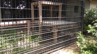 ユキヒョウ の『コハク』 (浜松市動物園) 2018年7月1日