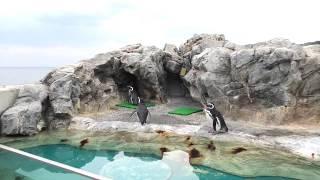 マゼランペンギン (大分マリーンパレス水族館 うみたまご) 2019年12月5日