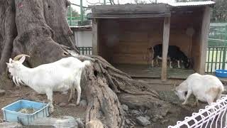 ヤギ (和歌山城公園 動物園) 2018年12月24日