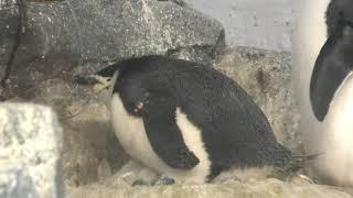 雛を暖めるヒゲペンギン (名古屋港水族館) 2017年11月18日