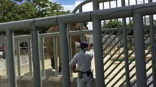 アジアゾウのダーナくんトレーニング風景 in 豊橋総合動植物公園(豊橋のんほいパーク) 2017年8月5日