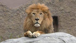 ライオン の『リッキー』 (札幌市 円山動物園) 2019年6月13日