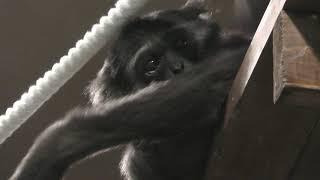テナガザル の『タロウ』 (札幌市 円山動物園) 2019年6月13日