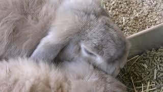 ウサギ (福山市立動物園) 2019年2月25日