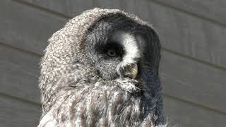 Great Grey Owl (Izu Shaboten Zoo, Shizuoka, Japan) October 1, 2019