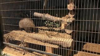 ニホンアナグマ (仙台市八木山動物公園) 2019年4月13日